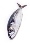 Whole Atlantic mackerel fish Stock Images