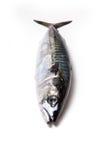 Whole Atlantic mackerel fish Royalty Free Stock Photo
