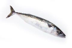 Whole Atlantic mackerel fish Royalty Free Stock Images