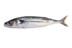 Whole Atlantic mackerel fish Stock Images