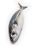Whole Atlantic mackerel fish Stock Photos