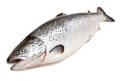 Whole Atlantic Salmon. Isolated on white background Stock Photo