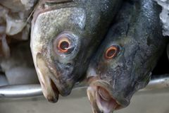 Whole barracuda on ice at fish market. Two large barracuda heads on a tray with ice at seafood market Stock Image