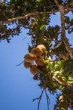 Whole Baru Nut Tree. Brazilian Nut from Cerrado, Goias, Brazil Royalty Free Stock Photo