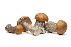 Whole birch boletes Royalty Free Stock Photography