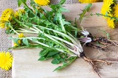 Whole dandelion plants with roots on a table stock image