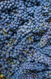 A whole box filled with ripe, organic blue grapes. royalty free stock image