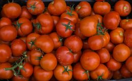 Whole box of red tomatoes ,summer harvest. stock photo