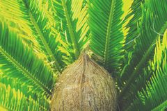 Whole Coconut on Feathery Palm Tree Leaves Background in Golden Sunlight. Vibrant Colors. Tropical Foliage Vacation Summer. Toned. Whole Coconut on Feathery Palm Stock Image