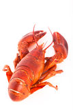Whole cooked lobster Stock Images