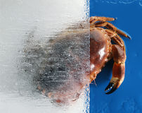 Whole crab Stock Photography
