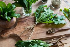 Whole dandelion plant including root on a wooden table. Whole dandelion plant with roots and leaves on a wooden cutting board Royalty Free Stock Photos