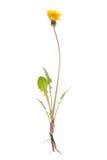 Whole dandelion plant. stock photos