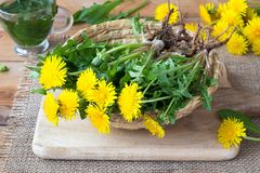 Whole dandelion plants with roots in a basket royalty free stock photography