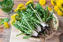 Whole dandelion plants with roots in a basket. Whole dandelion plants with roots in a wicker basket royalty free stock photo