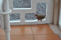 Whole dove in a frame. A barble dove visiting on a balcony royalty free stock image