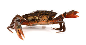 Whole Dungeness Crab. Blue Crab with white background Stock Images