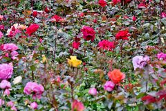 Whole field of roses of different colors close up stock photography