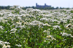 Whole field of a yarrow of Zhemchuzhnits. Royalty Free Stock Photography