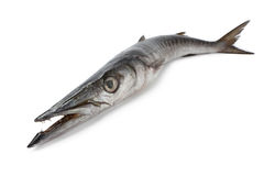 Whole fresh Barracuda fish. Whole single fresh Barracuda fish on white background Royalty Free Stock Image