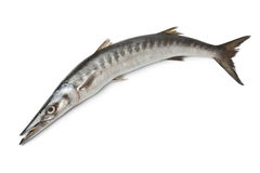 Whole fresh Barracuda fish Stock Image