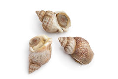 Whole fresh common whelk Royalty Free Stock Photos
