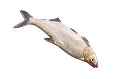 Whole fresh fish Royalty Free Stock Photo