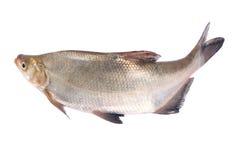 Whole fresh fish Royalty Free Stock Images