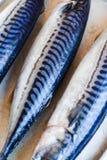 Whole fresh fish, mackerel on iron background Stock Photos