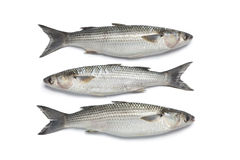 Whole fresh grey mullets Royalty Free Stock Photo