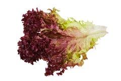 Whole fresh Oak Leaf lettuce isolated on white background royalty free stock images