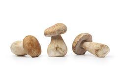 Whole fresh porcini mushrooms Royalty Free Stock Photo
