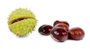 Whole fresh raw chestnuts. One its its prickly green outer burr or husk and a group of brown edible nuts or kernels, over white Stock Images