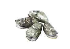 Whole fresh raw oyster Stock Images