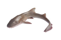 Whole fresh shark isolated Stock Photos