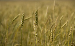 Whole  grain. Close-up spikes in the grain field Stock Photography