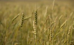 Whole  grain Stock Photography