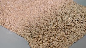 Whole-grain malt is pouring inside mill for milling in brewery, detail view. Process in beer factory stock video