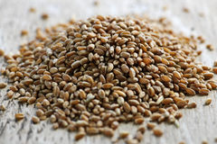 Whole grain wheat kernels closeup Royalty Free Stock Photos