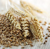 Whole grain wheat kernels closeup. Closeup on pile of organic whole grain wheat kernels and ears Stock Photos