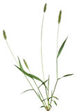 Whole grass plant Stock Photography