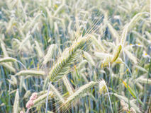 Whole green barley grain Royalty Free Stock Image