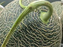 Whole green melon with stalk close up shot. stock photos