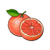 Whole and half unpeeled ripe pink grapefruit, sketch vector illustration Stock Photography