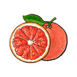 Whole and half unpeeled ripe pink grapefruit, sketch vector illustration Stock Photos