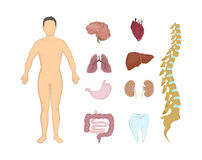 Whole human anatomy. All human body systems as body, organs and muscles Stock Photography