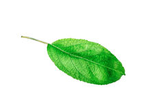 Free Whole Leaf Of Apple With Stalk Isolated On A White Background, Close-up. A Fresh Single Apple Leaf Cut Out With The Royalty Free Stock Photography - 97657577