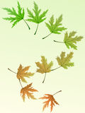Whole life of a leaf. From fresh green to withered yellow Stock Photography