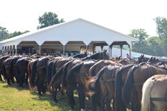 Whole line of horse butts Royalty Free Stock Image