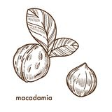 Whole macadamia nuts in shell with small leaves Royalty Free Stock Image